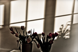 tulips and daffodils's shadows